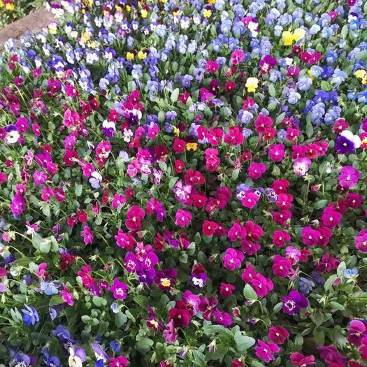 赤峰喀喇沁旗三色堇 鮮花上市保證質量