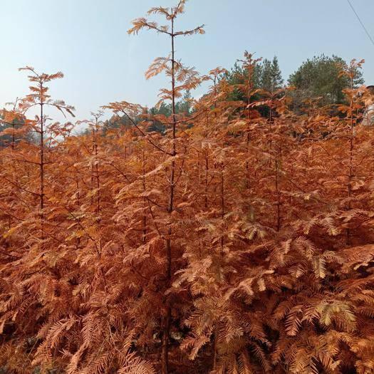 恩施土利川市 水杉樹苗0.8至1公分的地徑苗