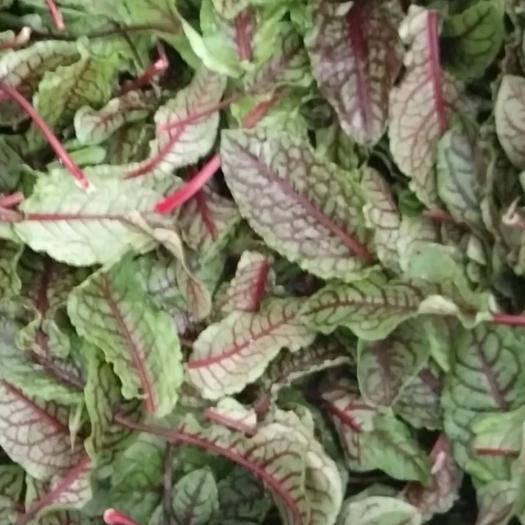 赤峰喀喇沁旗 三色堇,石竹花,酸膜葉有貨