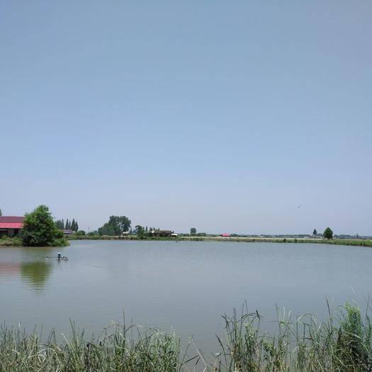 安乡县 塘口出售6万斤 草鱼1.8~2.5斤;白鲢4斤;花鲢3.5