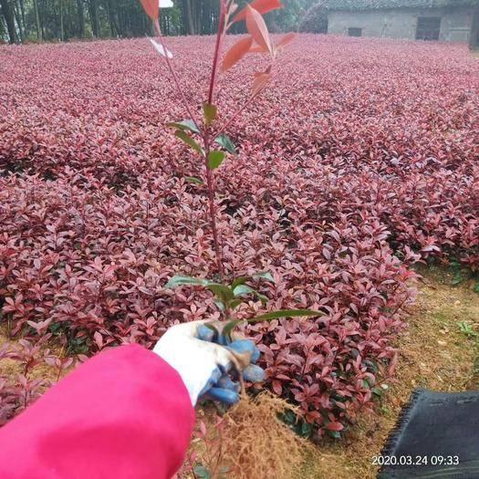 瀏陽市 銷量過百   紅葉石楠樹苗 火焰紅  湖南長沙  基地直供
