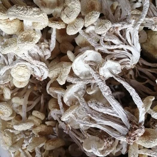 抚州广昌县 2020新鲜白菇 白茶树菇 干茶树菇