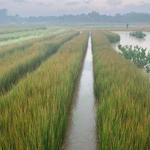 東莞市 燈芯草  基地直供  園林綠化工程袋苗  大量優質現貨