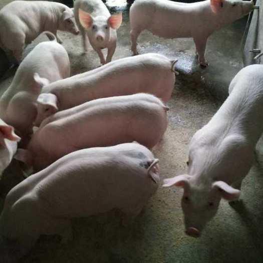 沂源县 仔猪大降价了 长年供应三元仔猪 长白仔猪等品种 防疫到位