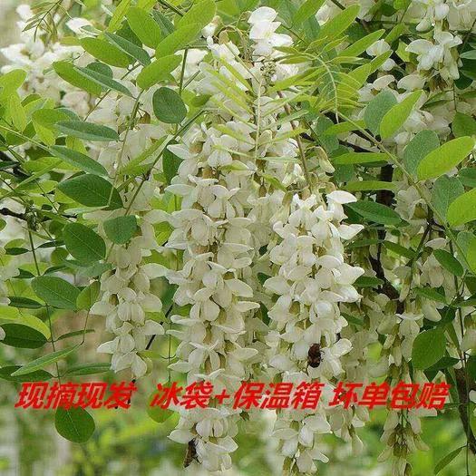 淄博沂源县 2020新鲜槐树花3斤包邮支持一件代发
