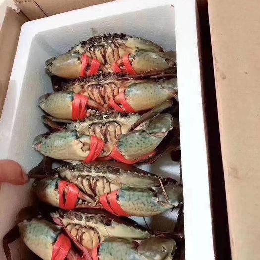 漳浦县 红鲟,红膏蟹