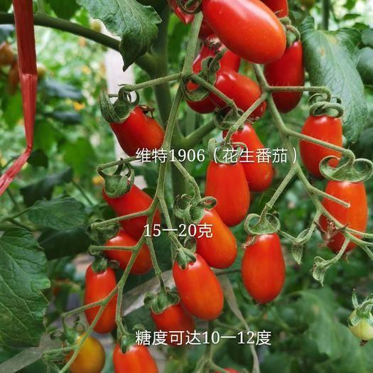 潍坊寿光市 抗TY病毒花生柿子籽红色花生番茄种子红色圣女果种子蔬菜种子
