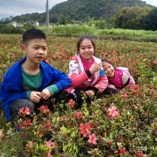 桂林荔浦市杜鹃苗 映山红0.5以下,春鹃苗。