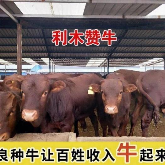 开封 利木赞牛(全国免费送货到家)