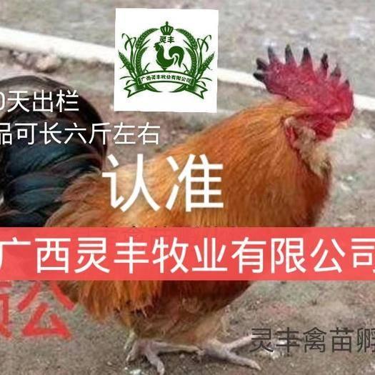 南宁西乡塘区 【三黄胡须鸡苗】支持在线交易,包打疫苗厂家直销,全国可发货