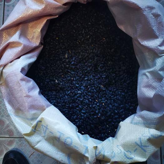 張家口宣化區 出售純綠色無農藥黑豆5000斤100斤起批