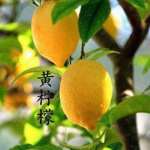 平邑县青柠檬苗 柠檬树苗。适合南北方种植,基地直销三包发货。