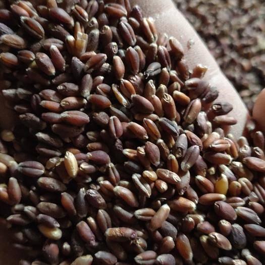 鶴壁??h 東北黑小麥容重810水12凈糧