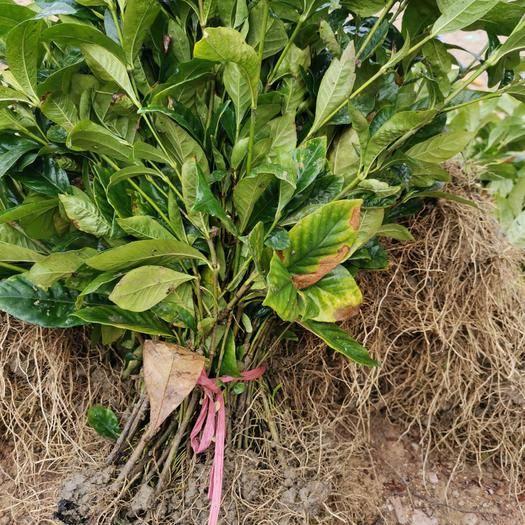 咸寧 梔子花大葉中葉花期長根系好易成活