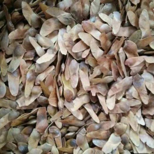 临沂河东区 五角枫种子,五角枫,销售火爆,精选细致,出芽率高