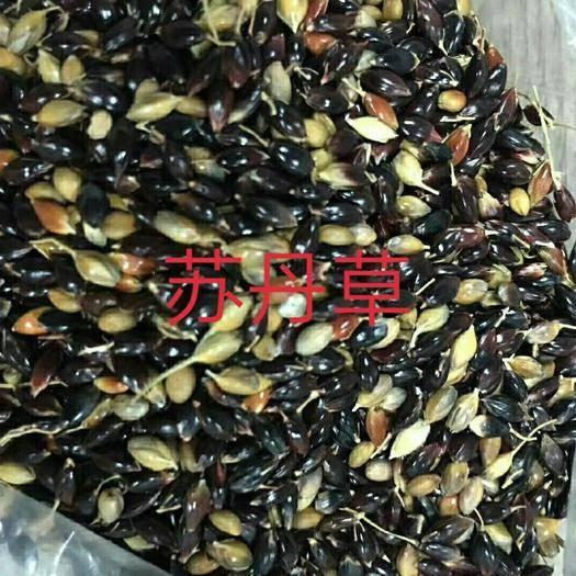 郑州中原区苏丹草种子