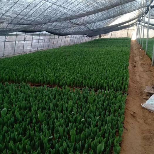 青州市 郁金香种植基地,出售进口球大包郁金香