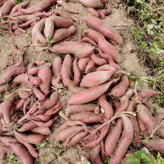 揭阳惠来县 广东红薯红皮红肉假西瓜红湖北大叶