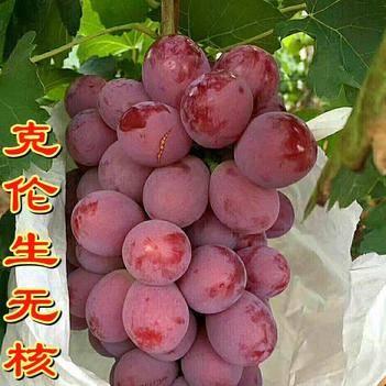 克伦生无核葡萄苗 嫁接苗红提克瑞森葡萄树苗晚熟 新品种果树苗