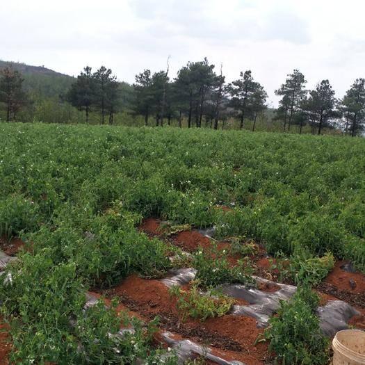 宜良縣 云南高原豌豆新鮮蔬菜自因疫情原因,沒有銷路