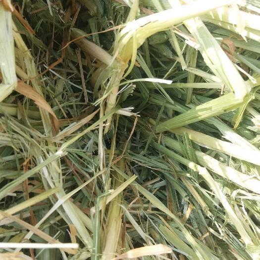 赤峰阿鲁科尔沁旗青燕麦草 天山燕麦草