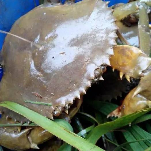 广州南沙区青蟹 一级膏蟹,蟹黄多多,肉质鲜美,货源充足,每个重量大约3到6两