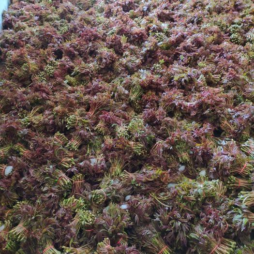 达州大竹县红香椿芽 香椿便宜了,有需要深加工的老板请联系