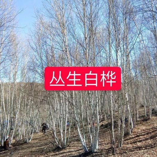 承德围场满族蒙古族自治县白桦树苗 丛生白桦