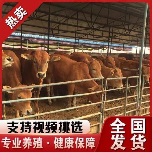 開封 魯西黃牛(全國免費送貨到家)