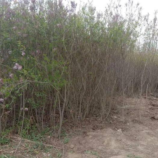 蘭州紅古區紫丁香 2cm以下 4~6cm 1~1.5米