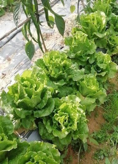 東莞市生菜 有機,綠色蔬菜