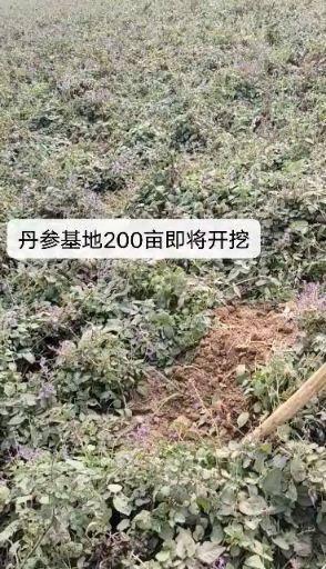 亳州譙城區 苗栽丹參200畝