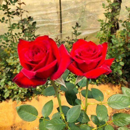 昆明 月季苗  卡罗拉玫瑰小苗,10-20公分扦插玫瑰苗,