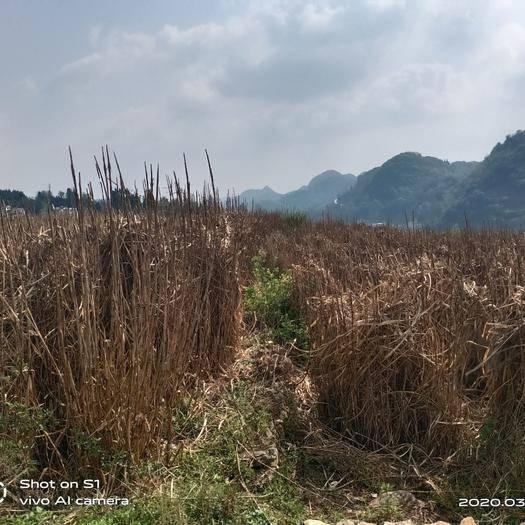 安顺平坝区皇竹草 黄竹草种子或黄竹草杆子出售