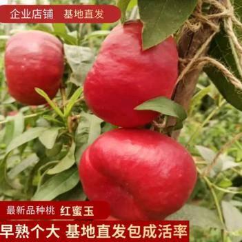 桃树苗红油蟠黄油蟠桃树苗黑桃树苗当年结果果树苗嫁接新品种桃苗