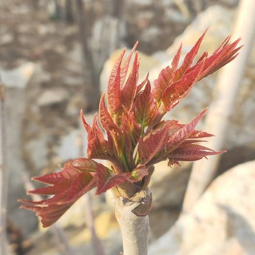 濰坊臨朐縣 紅香椿基地供應2020年二茬露天香椿芽 好吃不貴 餐桌美味
