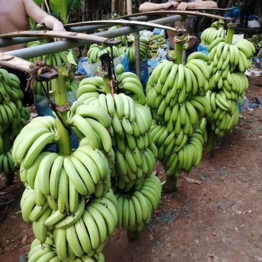 湛江 广东湛江 巴西香蕉  七成熟