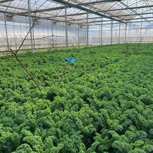 上海羽衣甘藍 精品蔬菜種植,大量批發,鮮嫩無比,價格優惠,歡迎致電咨詢!