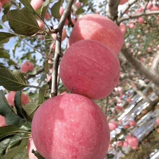 渭南 陕西红富士苹果