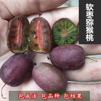 软籽枣猕猴桃苗红星红心当年结果盆栽地栽果树苗嫁接黄金奇异果