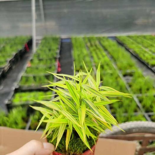 广州 黄金竹