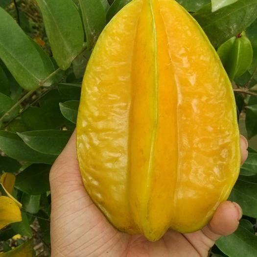 漳州平和縣 紅龍楊桃  甜楊桃  1件代發