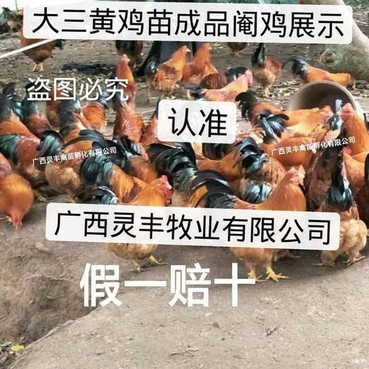 南宁西乡塘区 【高销量热卖】三黄鸡苗【有经营许可证】买卖更放心灵丰公司
