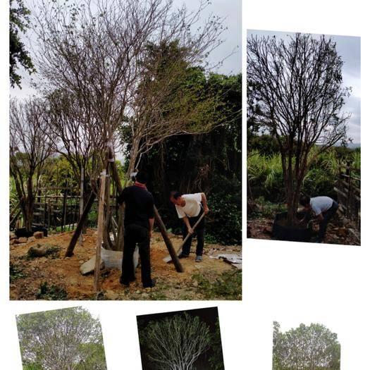 汕尾海豐縣 五米高叢生紅花紫薇樹冠4米,靚女樹,只有一棵