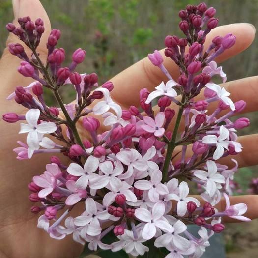 營口蓋州市紫丁香 保真,假一賠十。