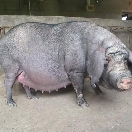 潍坊 太湖一代高产母猪,窝窝二十多,两年产五窝