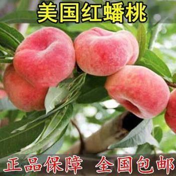 嫁接桃树苗新品种特大巨型早熟蟠桃苗地栽黑冬桃苗南北方种植结