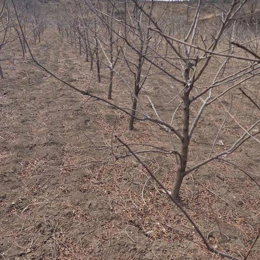 朝阳北票市 大量批发文冠果3.4.5公分树苗有现货文冠果树苗价格文冠果苗
