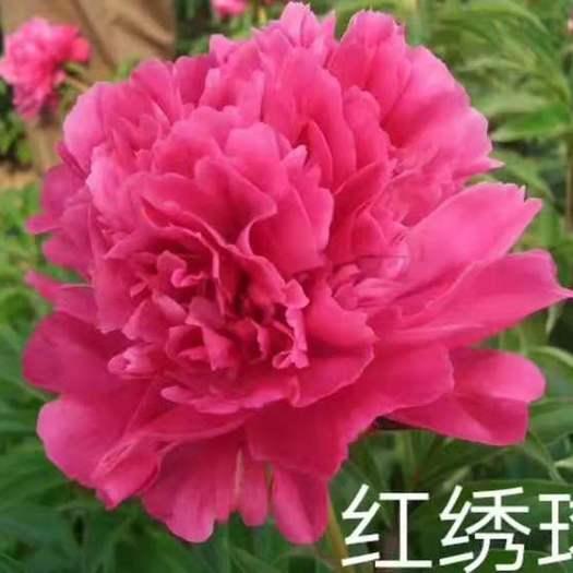 菏澤牡丹區 精品觀賞芍藥,花大艷麗,鮮切花,花海