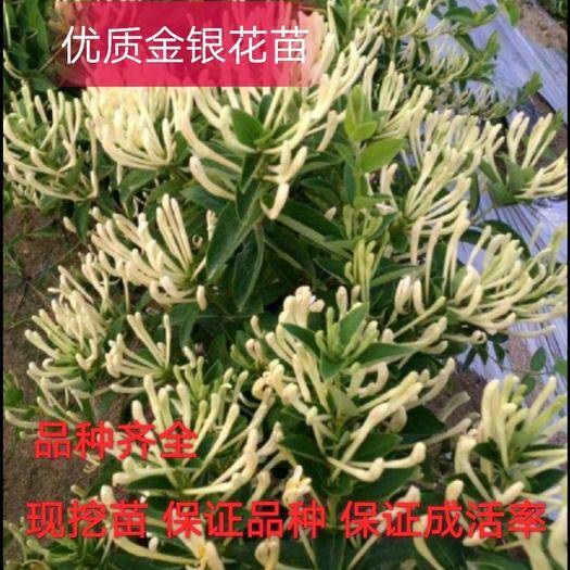 临沂平邑县 四季金银花苗 两年苗 带分枝 当年开花 保证成活率